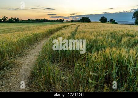 Horizontales hdr-Bild eines Pfades über einem Weizenfeld bei Sonnenuntergang.