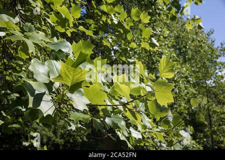 Egham, Großbritannien. August 2020. Im Windsor Great Park ist eine Tulpenpappel (Liriodendron tulipifera) abgebildet. Die Tulpenpappel ist ein Mitglied der Made - Stockfoto