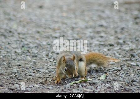 Ein American Red Squirrel (Tamiasciurus hudsonicus) in Whitby, Ontario, Kanada - Stockfoto