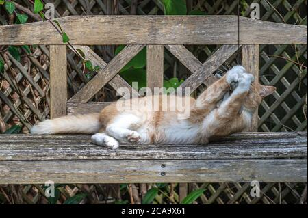 Verspielte Ingwerkatze auf Holzbank mit weißen Pfoten um Katzenspielzeug