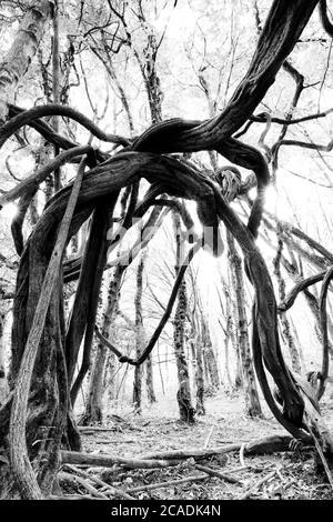Bäume mit verdrehten Ästen im Wald - Stockfoto