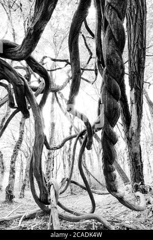 Bäume mit verdrehten Ästen im Wald Stockfoto