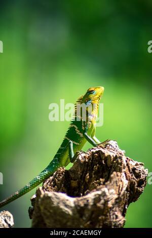 Nahaufnahme einer isolierten orangefarbenen und grünen Eidechse auf einem Baumstumpf. Ella, Sri Lanka. Verschwommener Dschungel im Hintergrund
