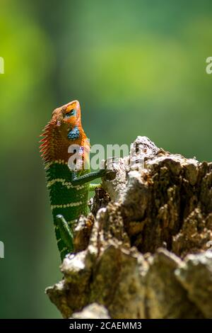 Nahaufnahme einer isolierten orangefarbenen und grünen Eidechse auf einem Baum. Ella, Sri Lanka. Schönes grünes Bokeh mit Licht im Hintergrund