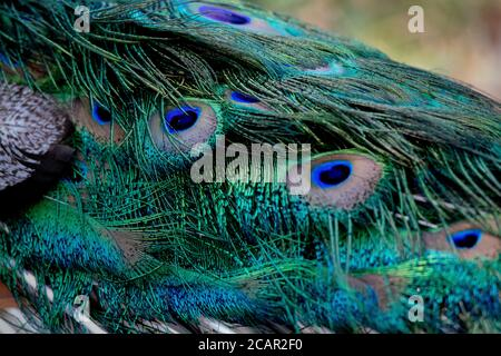 Detail der hellen und bunten Federn eines Männchens pfau
