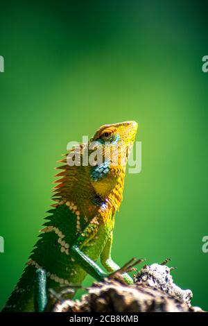 Nahaufnahme einer isolierten orangefarbenen und grünen Eidechse. Ella, Sri Lanka. Verschwommener Dschungel im Hintergrund