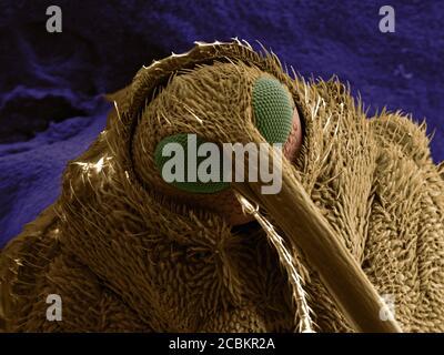 SEM Bild von Schnauzenkäfer