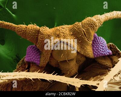 SEM-Bild der Blattläuse