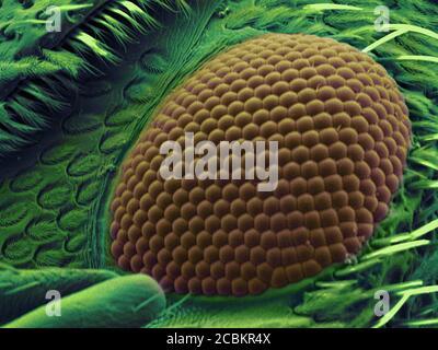 SEM-Bild von Schnauzenkäfer Auge