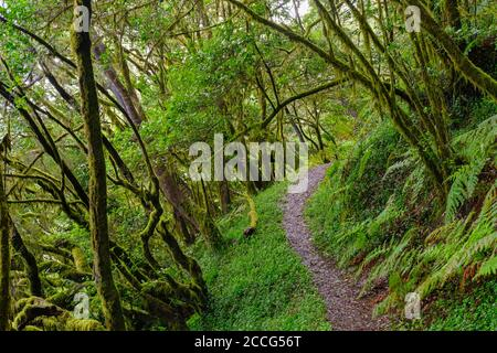 Waldweg im Nebelwald bei El Cedro, Nationalpark Garajonay, La Gomera, Kanarische Inseln, Spanien