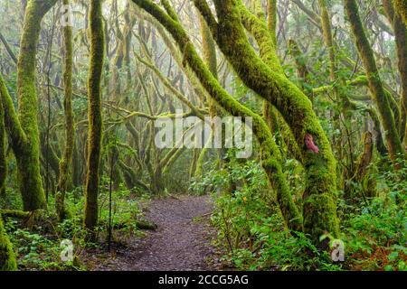 Waldweg und moosige Bäume im Nebelwald, Garajonay Nationalpark, La Gomera, Kanarische Inseln, Spanien