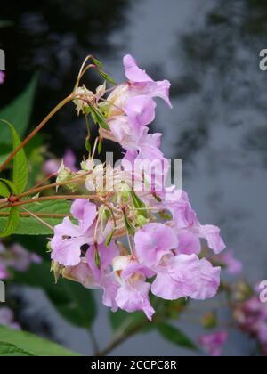 Himalaya Balsam ( Impatiens gladulifera ) Eine sehr invasive Alien Art Weed in Großbritannien