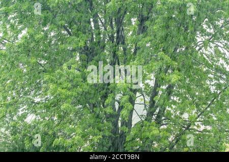 Sommer-Regensturm und Silber-Ahorn (Acer saccarinum), Frühsommer, MN, USA, von Dominique Braud/Dembinsky Photo Assoc - Stockfoto