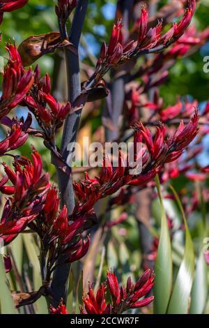Der neuseeländische Flachs oder Harakeke blüht im Frühling und zieht Vögel mit seinem Nektar an