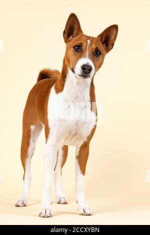 Basenji oder Congo Terrier (Canis lupus familiaris), Jungtier, stehend, 6 Monate, rot-weiß, Studioaufnahme, Österreich - Stockfoto
