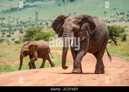 Afrikanischer Buschelefant (Loxodonta africana), der an einem sonnigen Tag auf unbefestigten Straßen mit Elefantenkalb läuft; Tansania Stockfoto