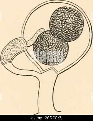 . Einführung in die Studie von Pilzen, ihre Organographie, Klassifizierung und Verteilung für den Einsatz von Sammlern . von XicWya. Aber neigen zum Oogonium. TheirAfter DeBary. ^^^^ Extremität wird eng an der Wand angebracht, und wird leicht aufgeblasen oben, und abgeschnitten unten durch Aseptum. Es ist dann eine längliche Zelle, oder Antheridium, gefüllt mit Protoplasma. Jedes Oogonium besitzt eine oder mehrere der Erdtheridien. In der Zeit, in der die Oogonium gebildet werden, projiziert jedes Antheridium in das Innere des Oogonium ein oder mehr röhrenförmige Prozesse, die durch ihre Extremitiesto die angewendet werden