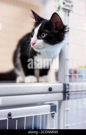 Schwarz und weiß junges Kätzchen mit Smoking-Markierungen neugierig spähten Aus dem Tierheim Zwingertür in Richtung linke Seite des Bildes - Stockfoto