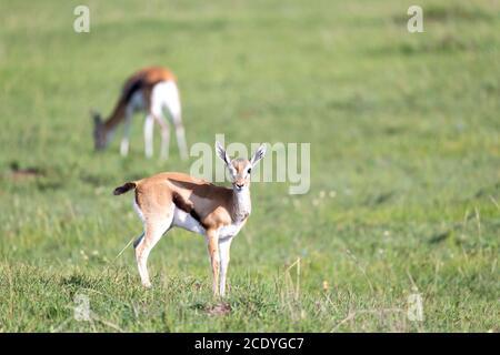 Thomson Gazellen in der Mitte einer grasbewachsenen Landschaft in Die kenianische Savanne - Stockfoto