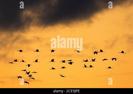 Wandernde Schar von gemeinen Kränen/Eurasischem Kran (Grus Grus), die bei der Migration bei Sonnenuntergang fliegen, Silhouette gegen orangefarbenen Himmel