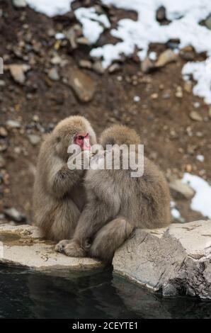 Wild Snow Monkeys (Japanese Macaque) im Jigokudani Yaen Monkey Park in der Präfektur Nagano, Japan