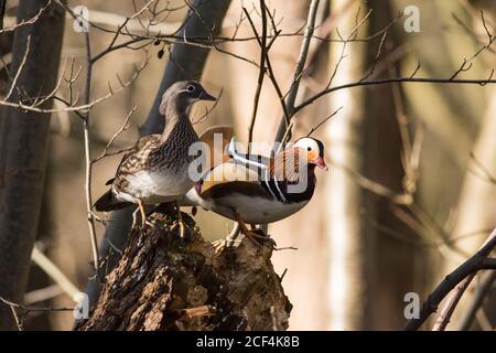 Mandarin Ducks Aix galericulata männlich und weiblich thront in einem Baum Stockfoto
