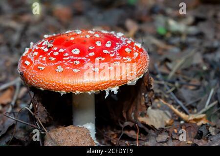 Rote große Fliege agaric auf Waldhintergrund.Fliege agarics wachsen im Wald. Stockfoto