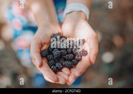 Nahaufnahme der menschlichen Hände mit frischen reifen Sommerbeeren. Eine Handvoll schwarzer Maulbeeren. Bauer Sammeln Ernte saisonalen Beeren Ernte von Baum bei cou