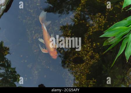 Draufsicht ein wunderschöner Koi-Fisch, der am klaren Teich im botanischen Garten in der Nähe von Dallas, Texas, USA schwimmt - Stockfoto