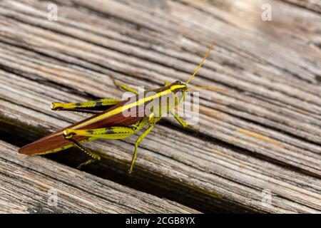 Nahaufnahme einer obskuren Vogelschrecke (Schistocerca obscura) auf einer Holzbank. Dies ist ein grünes Insekt mit gelbem Rückenstreifen, gestreiften Augen,