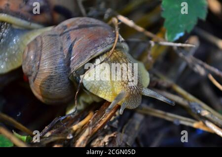 Gastropode. Gemeinsame Gartenschnecke kriecht auf trockenen Ästen. Fauna der Ukraine. Geringe Schärfentiefe, Nahaufnahme.