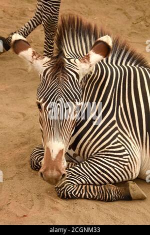 Los Angeles, Kalifornien, USA 10. September 2020 EIN allgemeiner Blick auf die Atmosphäre von Grevys Zebras im Los Angeles Zoo am 10. September 2020 in Los Angeles, Kalifornien, USA. Foto von Barry King/Alamy Stockfoto