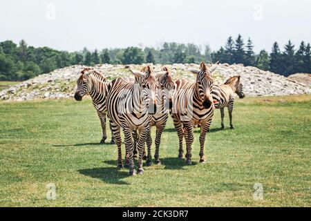 Eine Herde von Ebenen Zebra, die am Sommertag im Savannenpark zusammenstehen. Exotische afrikanische schwarz-weiß gestreifte Tiere, die in der Prärie spazieren gehen. Schönheit in n