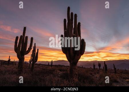 Sonnenuntergang am argentinischen saguaro Kaktus (Echinopsis terscheckii), Los Cardones Nationalpark, Salta Provinz, Argentinien - Stockfoto
