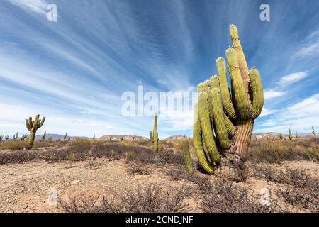 Argentinischer saguaro Kaktus (Echinopsis terscheckii), Los Cardones Nationalpark, Salta Provinz, Argentinien - Stockfoto