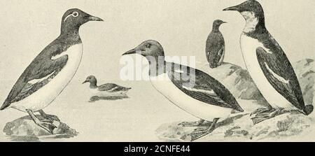 . Die Vögel von Illinois und Wisconsin . 40 Field Museum of Natural History – Zoology, Vol. IX.. - Stockfoto