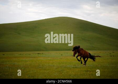 Ein Pferd ist im Rahmen seiner Ausbildung ein Rennpferd auf einer Fläche von Wiesen befindet sich 70 km (43 Meilen) von der mongolischen Hauptstadt Ulan Bator 26. Juni 2013 werden gebunden.  REUTERS/Carlos Barria (Mongolei - Tags: Tiere) - Stockfoto