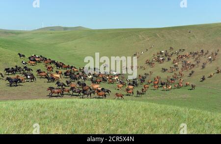 Eine Herde von Pferden auf eine Wiese in Xilin Gol Liga, in der chinesischen autonomen Region Innere Mongolei, 31. Juli 2014 laufen. Bild 31. Juli 2014. REUTERS/Jacky Chen (CHINA - Tags: Gesellschaft Tiere TPX Bilder des Tages) - Stockfoto