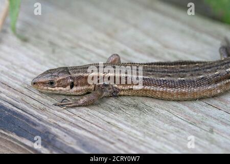 Gemeinsame Lizard (Zootoca Vivipara) mit Zecken