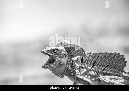 Basilisk (auch Jesus Christ Lizard genannt, Basiliscus Basiliscus), Tortuguero National Park, Limon Province, Costa Rica