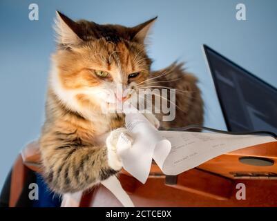 Rechnung zum Zerkleinern von Katzenkatzen. Konzept für: Keine Rechnungen mehr. Umweltfreundlicher Papierzerkleinerer. Katze sitzt auf dem Tisch, während sie Papier isst. - Stockfoto