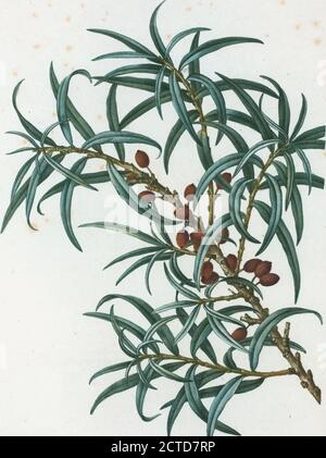 Hippophaë rhamnoïdes = Argoussier-faux-nerprun. Sanddorn, Standbild, Drucke, 1801 - 1819, Duhamel du Monceau, M., 1700-1782, Redouté, Pierre Joseph, 1759-1840 - Stockfoto
