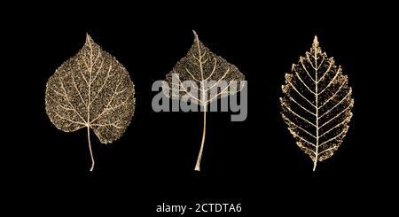 Set aus drei transparenten goldfarbenen Skelettblättern auf schwarzem Hintergrund. Goldenes Blatt von Birke, Buche, Linde. Luxuriöse botanische Illustration.