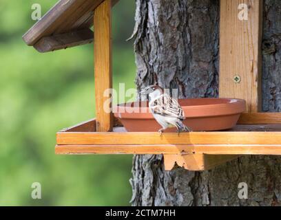 Nahaufnahme Männchen der Haussperling, Passer domesticus Vogel auf dem Vogelfuttertisch mit Sonnenblumenkerne thront. Vogelfütterung Konzept. Selektiver Fokus