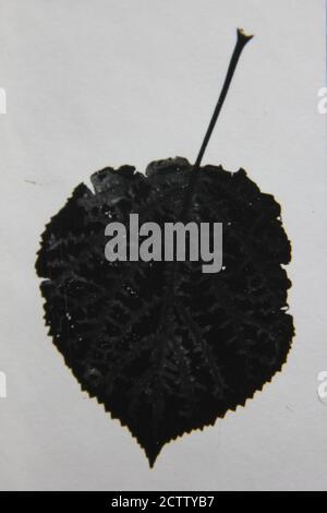Feine 70er Jahre Vintage schwarz-weiß Studie Serie einer natürlichen Pflanze in hohem Kontrast. - Stockfoto