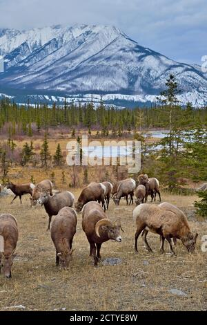 Eine Herde wilder Dickhornschafe, die unter einem schneebedeckten Berg im Jasper National Park Alberta auf der Nahrungssuche nach 'Ovis canadensis' im Herbst grasen
