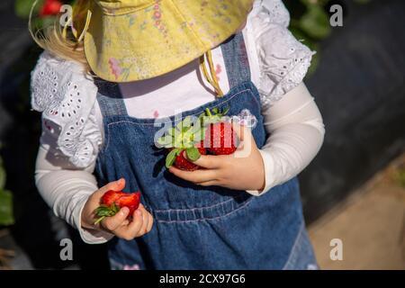 Ein zwei Jahre altes Mädchen pflückt Erdbeeren.
