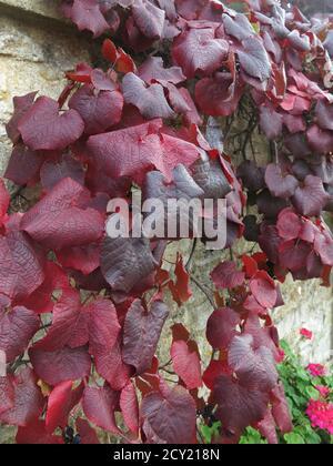 Herbstfarben: Die burgunderfarbenen Blätter eines kletternden Efeus bedecken die Steinmauer eines Gebäudes in den Cotswolds - Stockfoto