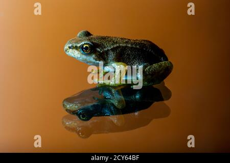 Seitenansicht des Froglets des Frosches (Rana temporaria) Mit Reflexion auf orangefarbenem Hintergrund