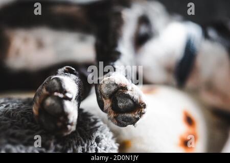 Nahaufnahme von schwarz-weiß brindle Staffordshire Bullterrier Hund Pfoten, wie es schläft, gestreckt auf dem Sofa
